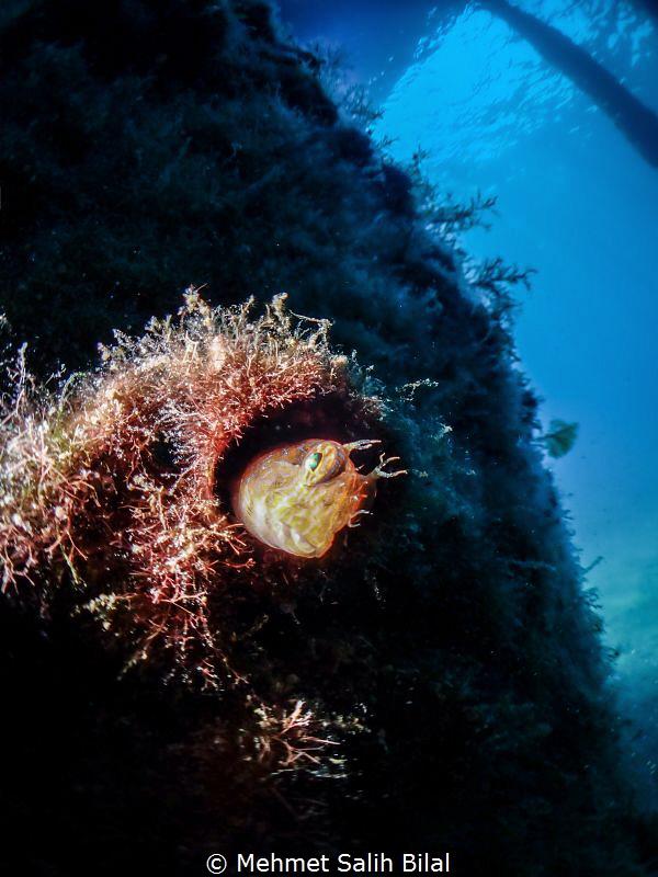 Parablennius zvonimiri.  TG5 + Inon micro fisheye+ Inon ... by Mehmet Salih Bilal