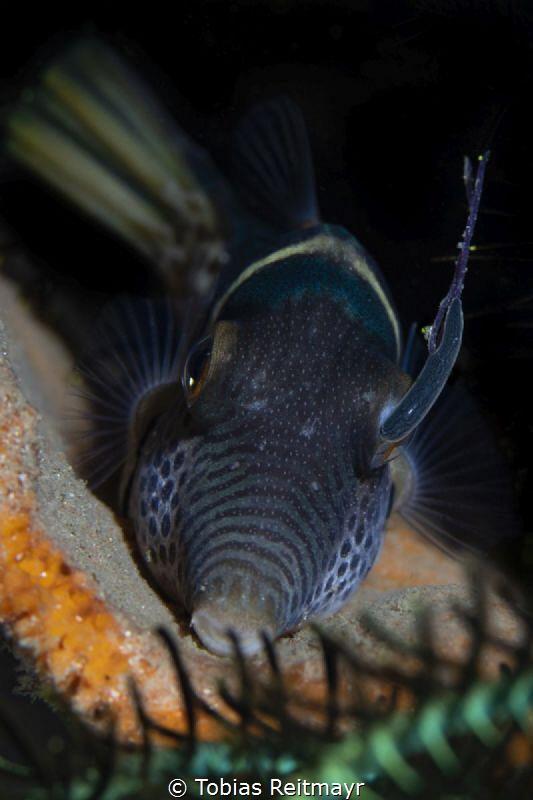 Toby with parasite, Kalimaya House Reef, Sumbawa by Tobias Reitmayr
