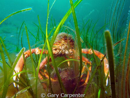 Mating pair of Common spider crab (Maja brachydactyla) by Gary Carpenter