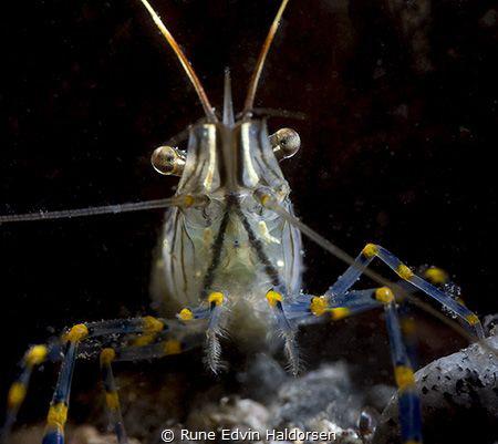 A Rockpool shrimp nearby my house by Rune Edvin Haldorsen