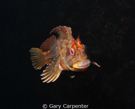Tompot blenny (Parablennius gattorugine) - Picture taken ... by Gary Carpenter
