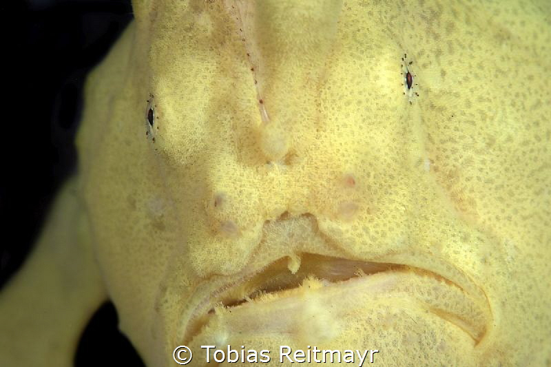 Giant frogfish by Tobias Reitmayr
