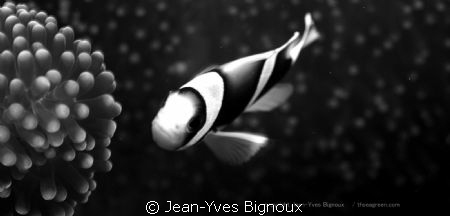 Clownfish Mauritius in Monochrome Jean-Yves Bignoux Can... by Jean-Yves Bignoux