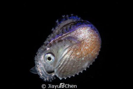 argo paper nautilus by Jiayun Chen