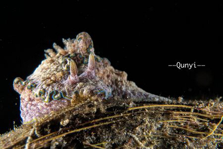 Taken in Anilao, Philippines on 7th, July 2018. A nudibra... by Qunyi Zhang
