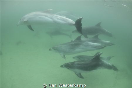 Swimming with a pod of bottlenose dolphins of New zealand... by Dan Westerkamp