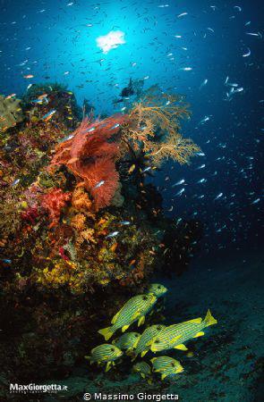 marine life - Raja ampat by Massimo Giorgetta