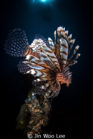 The Lion King/Two lionfish were waiting for prey under th... by Jin Woo Lee