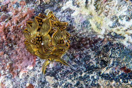 Cyerce nigra, a special nudibranch from Romblon, Philippi... by Qunyi Zhang