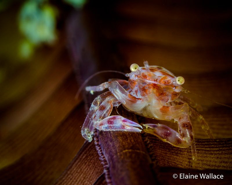 A hard stare from a sea pen crab by Elaine Wallace