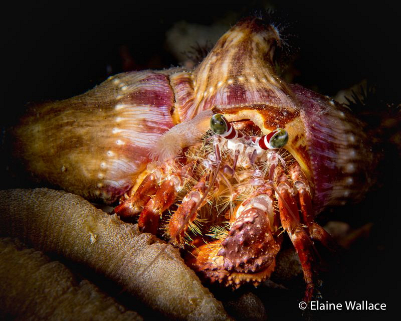 Symmetry in nature.  A decorator crab during a night dive... by Elaine Wallace