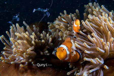 Picture was taken in Romblon, Philippines. Three nemo wit... by Qunyi Zhang