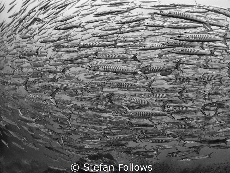 Fishiness of Fish  Chevron Barracuda - Sphyraena qenie... by Stefan Follows