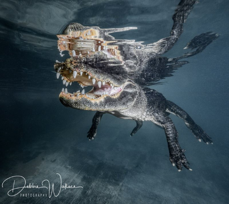 This toothy American alligator was  very tolerant of me a... by Debbie Wallace