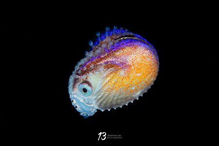 Female Paper Nautilus (Argonaut Argo) by Jiayun Chen
