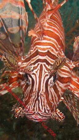 Lion fish Sulawesi by Brad Cox