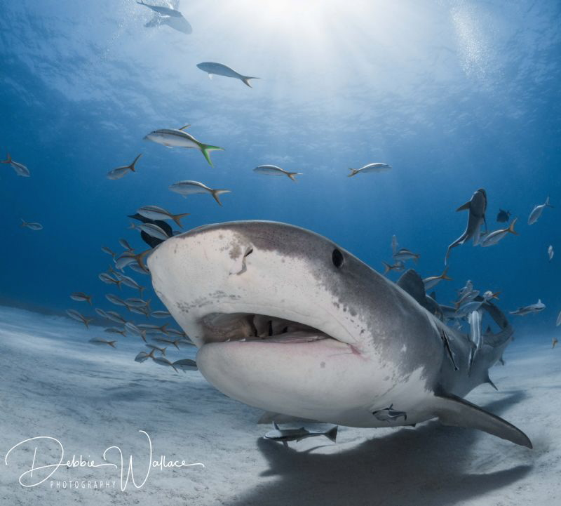 This large female tiger shark was coming right up to my d... by Debbie Wallace
