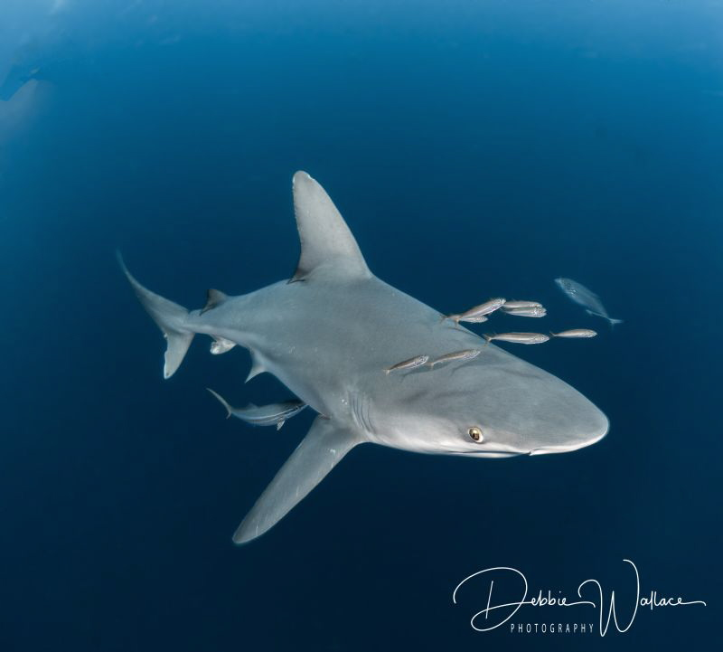 Usually sandbar sharks are extremely elusive as they are ... by Debbie Wallace
