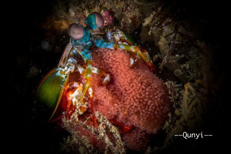 A mantis shrimp with eggs hidden in a hole at Anilao, Phi... by Qunyi Zhang