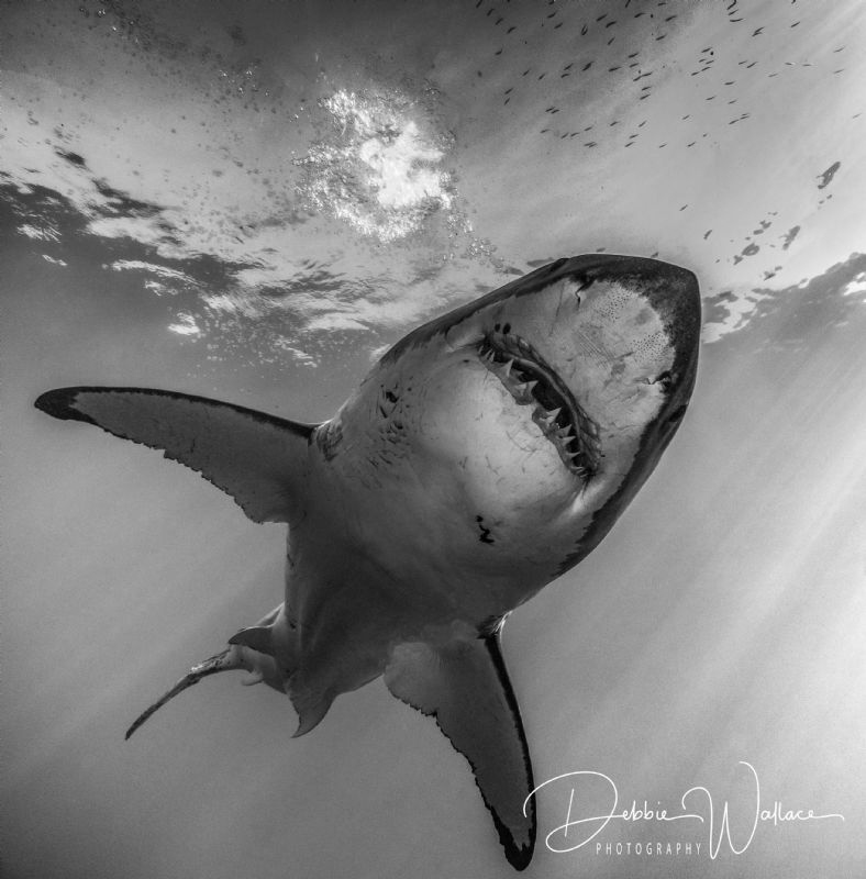 I was fortunate enough to capture this lovely great white... by Debbie Wallace