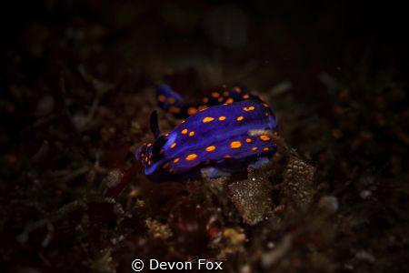 This Dorid nudibranch (Hypselodoris ghiselini) is a commo... by Devon Fox
