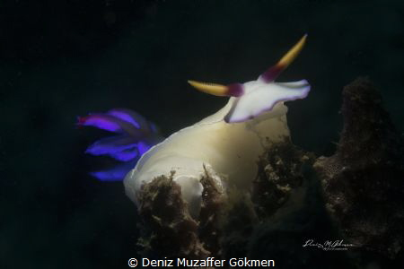 Hypselodoris, lembeh taken by torch snoot by Deniz Muzaffer Gökmen