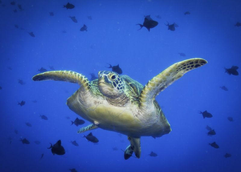 A green turtle swims through a school of trigger fish in ... by Glenn Ostle
