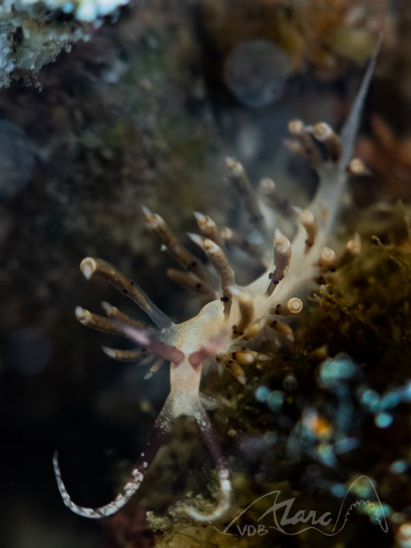 young nudis in the tentacles are ready to be born by Marc Van Den Broeck
