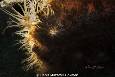 haıry in lembeh by Deniz Muzaffer Gökmen
