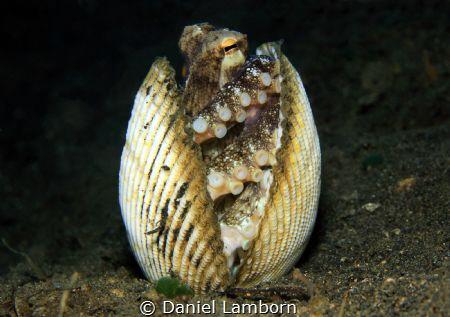 Coconut Octopus (Amphioctopus marginatus) in its shelter,... by Daniel Lamborn
