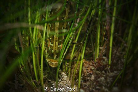 Giant Kelpfish blending in with the seagrass. Photo captu... by Devon Fox