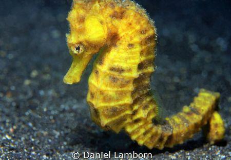 Common Seahorse by Daniel Lamborn