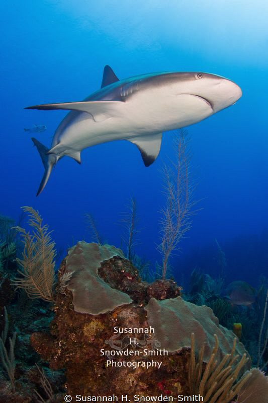 """Apex"" - A female Caribbean reef shark cruises the reef. by Susannah H. Snowden-Smith"