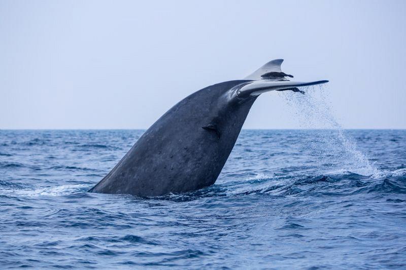 Blue Whale Tail as Fluke by Wayne Jones