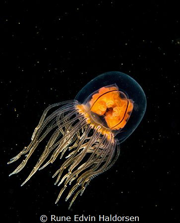 A swimming hydromedusa make me feel like I'm looking at s... by Rune Edvin Haldorsen
