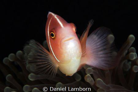 Pink Anemonefish, Anilao by Daniel Lamborn