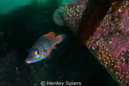 Cuckoo Wrasse on a British Reef by Henley Spiers