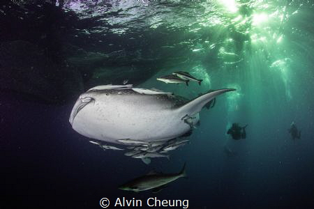 Whale shark in dawn by Alvin Cheung