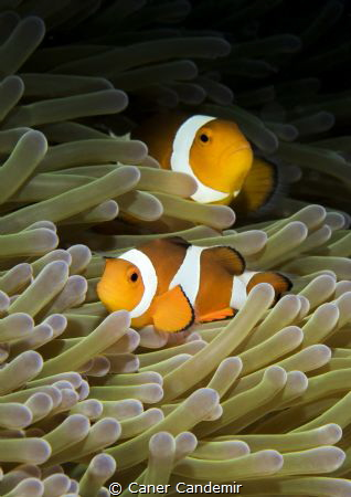 Nemo :) by Caner Candemir