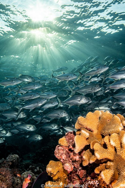 Jackfish shoal under the sun ray's in Sipadan. by Mehmet Salih Bilal