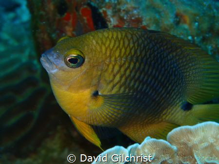 A Damselfish poses for the camera in the waters of the Ro... by David Gilchrist