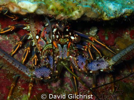 A reef lobster portrait in the waters of the Roatan Marin... by David Gilchrist