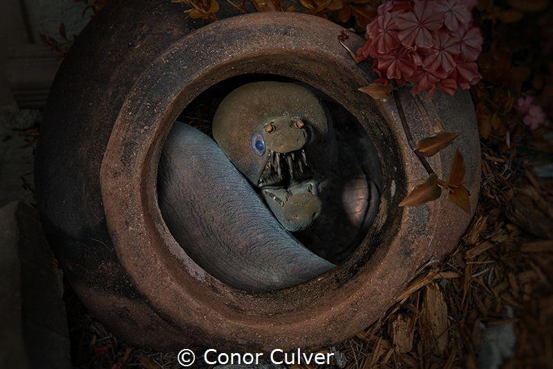 """""""The Viper Pot"""" by Conor Culver"""
