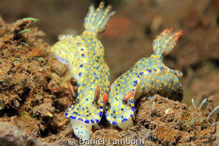 Hypselodoris Kanga couple, at Puri Jati, on the Northern ... by Daniel Lamborn