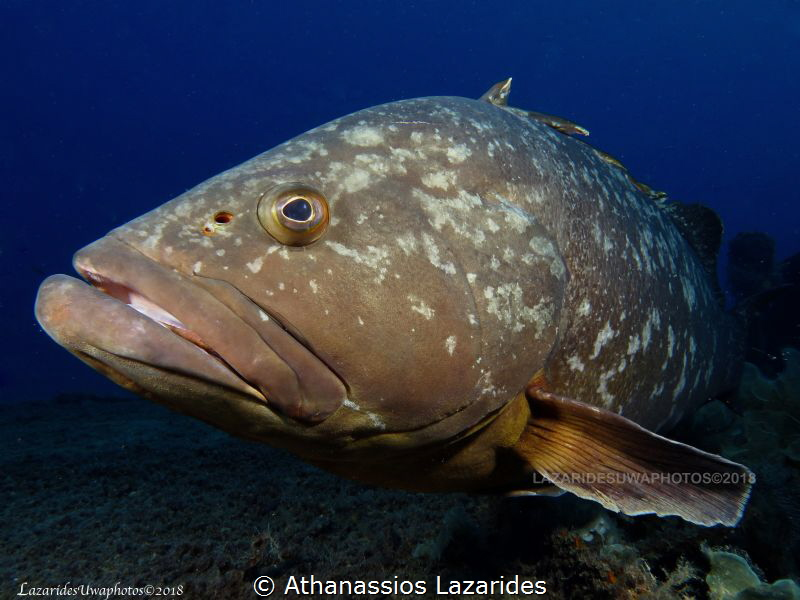 Grouper by Athanassios Lazarides