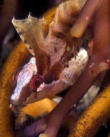 Island Kelpfish, hiding in kelp holdfast--San Miguel Isla... by Andrew Dawson