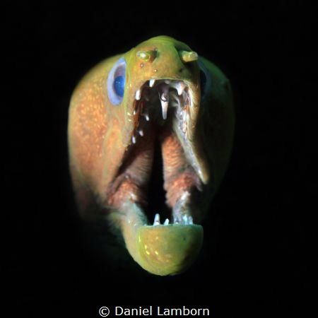Panamic Green Moray at Isla de Coiba. by Daniel Lamborn
