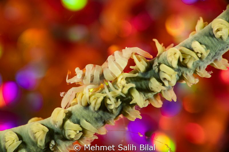 Wire coral shrimp shows color reflections from the bubble... by Mehmet Salih Bilal