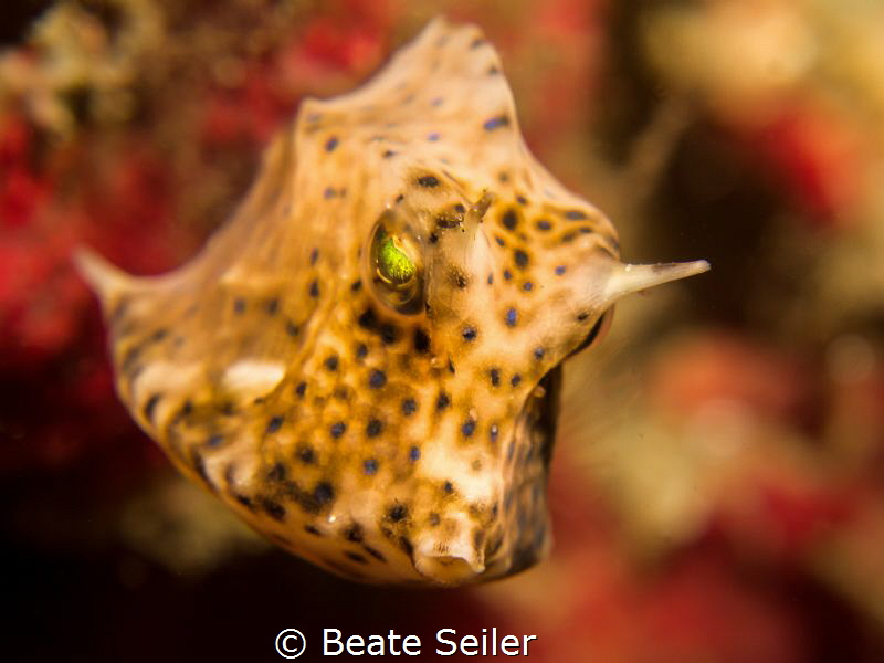 Juv. Cowfish by Beate Seiler