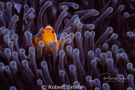 I really love clownfish, especcially when they are in a n... by Robert Smits